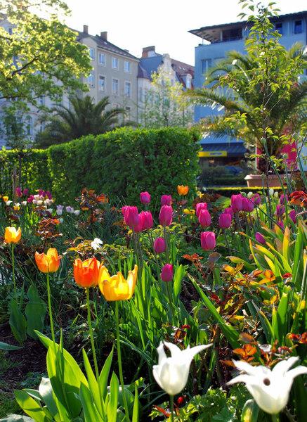 Tulips, Riedergarten