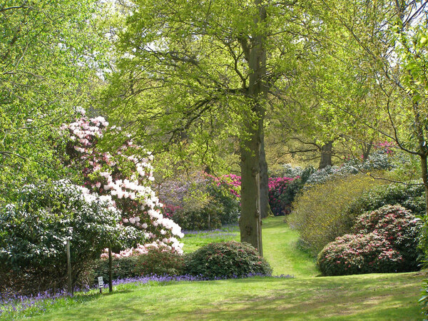 Rhododendrons, Bowood Estate