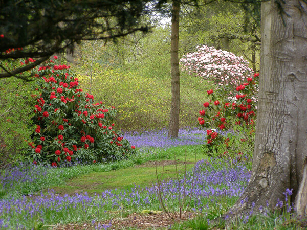 Rhododendron Wood, Bowood