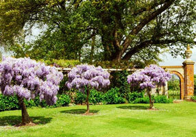 Hole park wisteria