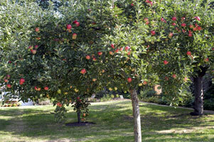 Fentonhouse orchard