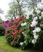 Medium bowood rhododendrons wiltshire original