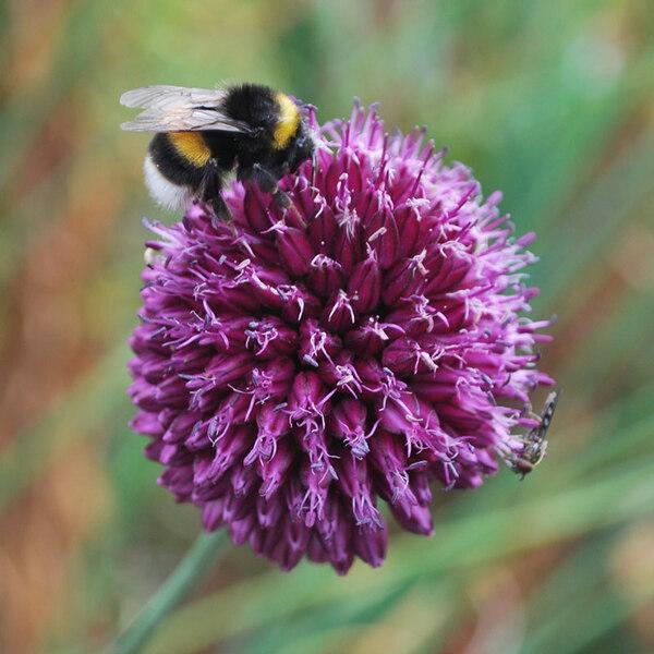 Bumble Bee, Lands of Loyal