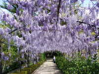 Medium bardini wisteria pergola original
