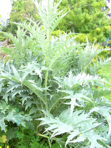 Cardoon, Pennard Plants