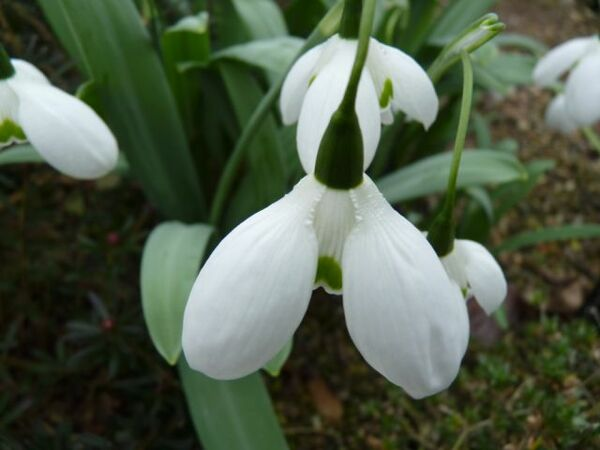 Snowdrop, Kingston Lacy Garden