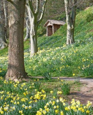 Daffodils, The Weir Garden